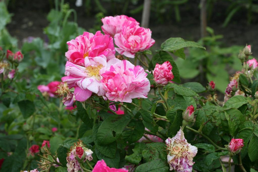 Rosa gallica versicolor (Rosa Mundi) | Old Roses
