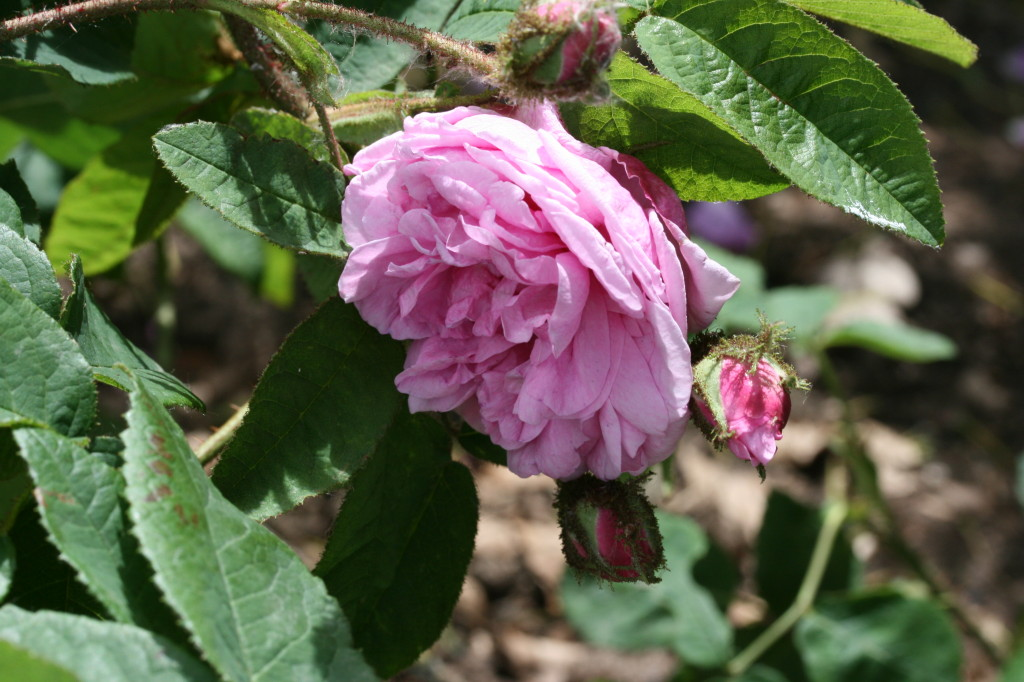 R x centifolia L. var muscosa