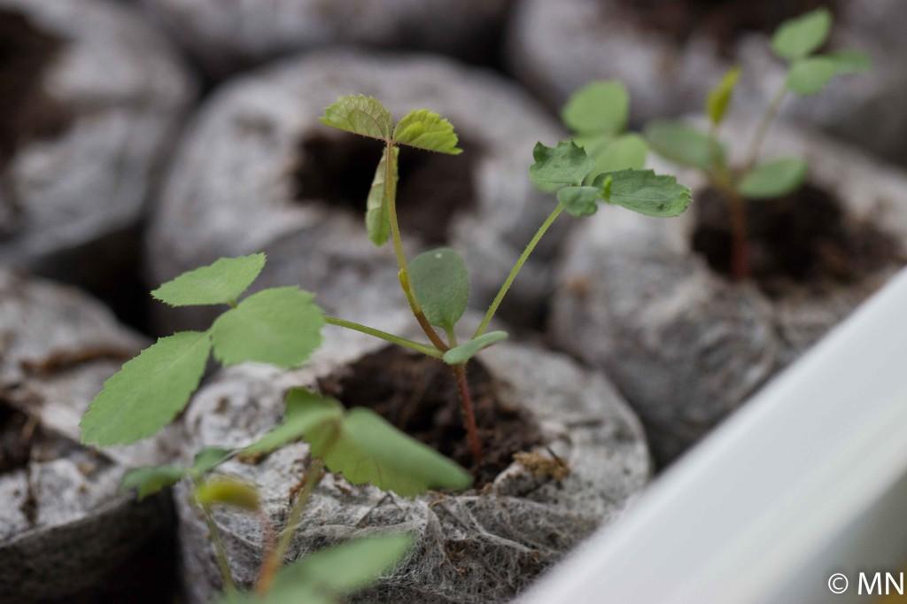 seedling of La Belle Sultane